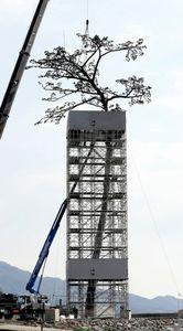 写真:枝葉の部分が取り付けられた「奇跡の一本松」=6日午前9時24分、岩手県陸前高田市、葛谷晋吾撮影