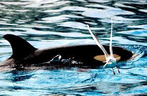 写真:カモメはエサをくわえて飛び立つ=千葉県鴨川市の鴨川シーワールド、さとうあきらさん撮影