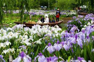 写真:時折小雨が降る中、見頃を迎えたハナショウブに囲まれる新郎新婦を乗せた舟=15日午前、千葉県香取市の「水郷佐原水生植物園」、池永牧子撮影