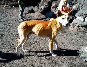 写真:保護された犬。一時はあばら骨が見えるほど痩せていた=22日、富士山頂、写真家植田めぐみさん撮影