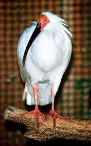 写真:2003年10月10日に死んだ日本産最後のトキ「キン」