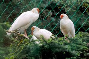 写真:中国河南省の董寨自然保護区で10日に放鳥される予定のトキ=9月27日、国際協力機構提供