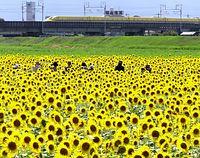 ヒマワリとドクターイエローを一枚に収めようと多くの鉄道ファンがカメラを構えていた=2012年8月21日午後2時9分、岐阜県大垣市