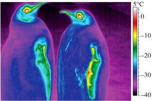 写真:コウテイペンギンの体表の温度イメージ。背中やおなかの一部などは、零下30度を下回っていた=バイオロジーレターズ提供