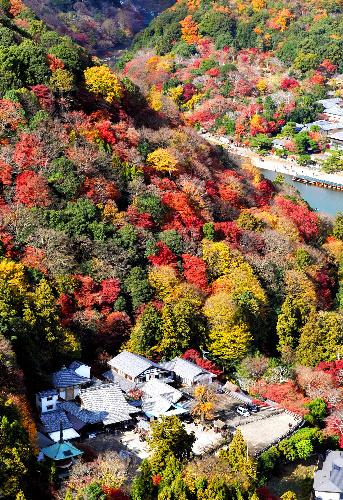 写真:見頃を迎えた嵐山の紅葉=京都市、朝日新聞社ヘリから、中里友紀撮影