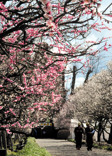 写真:満開の梅の下で偕楽園の被害状況を確認する茨城県の作業員。閉ざされた門のすき間から梅をのぞき見る市民もいる=水戸市常磐町、東郷隆撮影