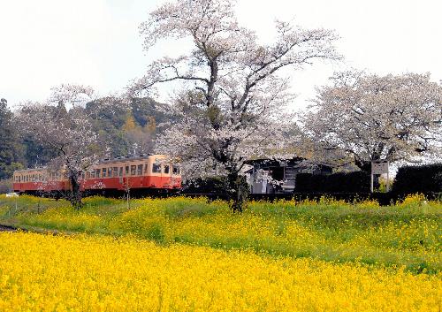 写真:桜と菜の花が美しい、春の小湊鉄道飯給駅の風景=千葉県市原市提供