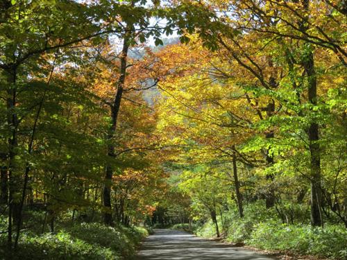 写真:戦場ケ原に抜けるミズナラの並木は鮮やかに色づいていた