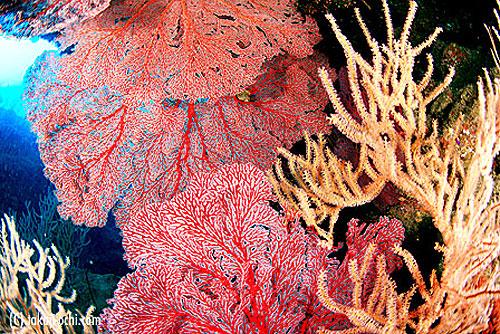 写真:深紅のイソバナが群生して、海中に色を添える