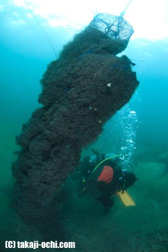 写真:ホタテ養殖用の網を引き上げると、砂泥が一緒に海中に巻き上がった