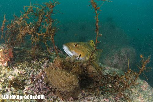 写真:海中作業によって、浮遊物の舞う海中でけなげに卵を守り続けるアイナメのオス
