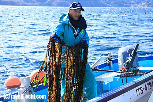 写真:「良い感じで種が成長してるぞ」とうれしそうにワカメの種を引き上げる漁師さん