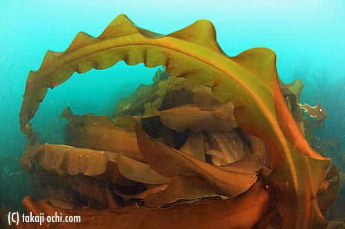 写真:海中には、コンブなどの海藻が生い茂っていて、春の訪れを感じさせるが、実際には、1年でも一番水温の低い時期だ