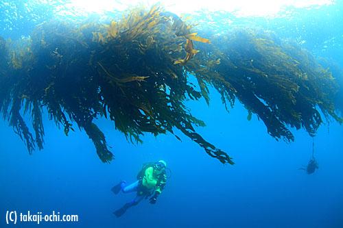 写真:海中に張られたロープにたわわに成長した、養殖ワカメ