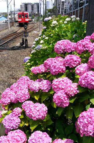 写真:見ごろを迎えた約200株の沿線のアジサイ。線路の左奥が仲ノ町駅、タンク群はヤマサ醤油工場=上田頴人撮影