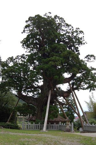 写真:神社にある、樹齢2〜3000年といわれる「八百杉」。耳を当てて心を静めると、寝ている間に閉じこめられてしまった大蛇のいびきが聞こえるといわれています