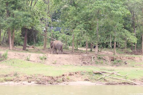 写真:トレッキング中はゾウのふんしか発見できなかったのですが、帰路のボートから、河岸にいる野生のゾウを発見!