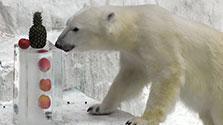 冷たいお中元、ホッキョクグマ大はしゃぎ 大阪の動物園
