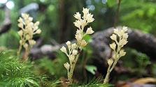 鹿児島)光合成しない不思議な植物 示す森の豊かさ