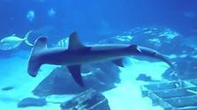 ヒラシュモクザメのクネクネ泳ぎ解明 体長6m効率的に