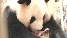 赤ちゃんパンダ誕生、パパは「世界最高齢」更新 和歌山