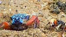 鹿児島)個性豊かなシオマネキの宝庫 奄美の干潟