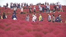 「紅葉する草」コキアが見ごろ 茨城・ひたちなか