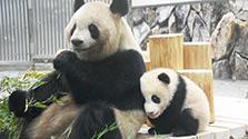 甘えん坊? パンダの赤ちゃんデビュー 和歌山・白浜