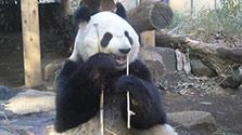 上野のパンダに発情兆候 繁殖に備え公開中止へ