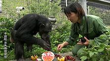 ダウン症のチンパンジー、2例目 京大研究グループ確認