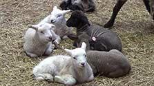 春を前に44頭!千葉・マザー牧場でヒツジ誕生ラッシュ