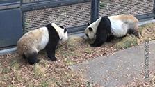 シンシンとリーリー、4年ぶり交尾 上野動物園のパンダ