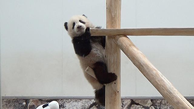 パンダの赤ちゃんにひな祭りプレゼント 木製の遊具