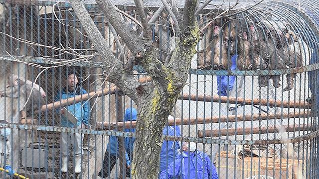 北海道)ニホンザル、新居に引っ越し 旭山動物園