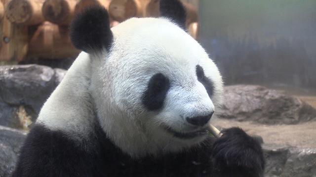 パンダの赤ちゃん、来園者も期待 シンシン展示中止へ