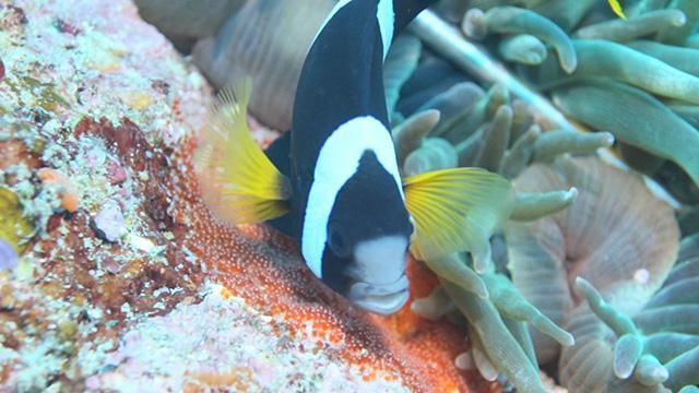 卵育って…新鮮な海水送るクマノミ 和歌山で繁殖最盛期