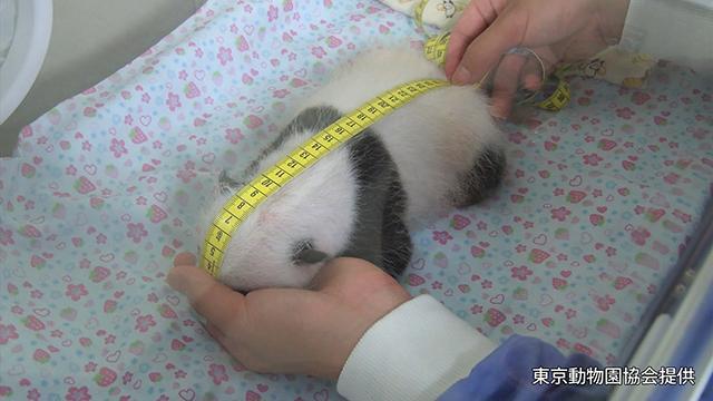 上野のパンダ、もうすぐ目が開くよ 誕生から1カ月
