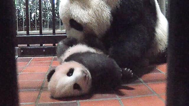 赤ちゃんパンダ、すくすく育って5キロ超 上野動物園