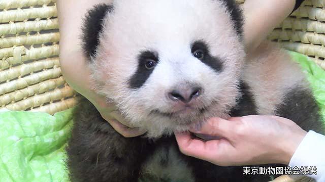 パンダ、生後100日でよちよち歩き 名前「近日中に」