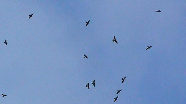 鹿児島)奄美に秋の訪れ アカハラダカの「鷹柱」