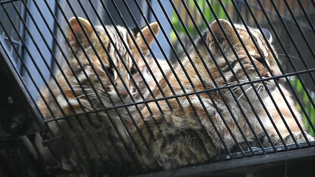 ツシマヤマネコの子2匹を期間限定公開 京都市動物園