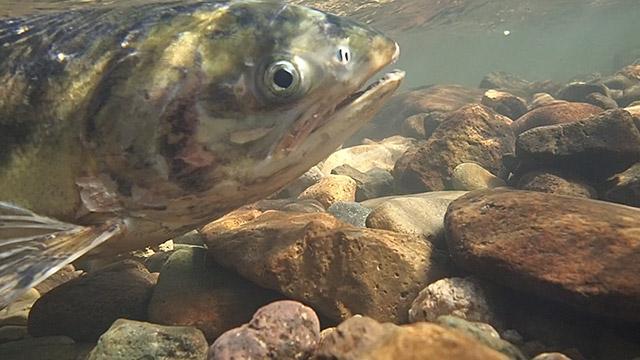 「死の川」よみがえり、サケ遡上 住民の稚魚放流が実る