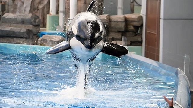 5歳になったシャチの「リン」公開訓練 名古屋港水族館