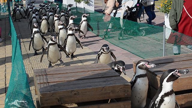 愛知)習性生かし「ペンギン障害物競走」 南知多BL