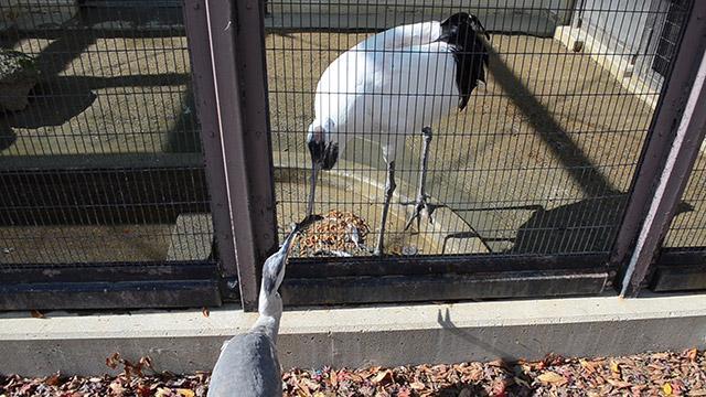 動物園のタンチョウ、金網越しにアオサギへ餌おすそ分け