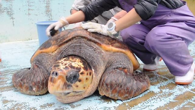 世界最高齢の浜太郎もゴシゴシ 年末にカメのあか落とし