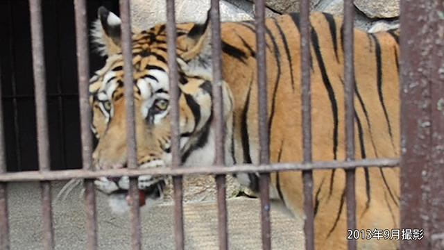 人間だと100歳…トラの大往生、動物園職員が支えた