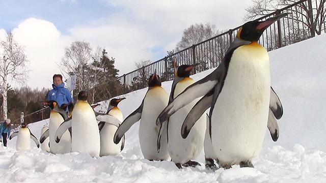ペンギン、ヨチヨチ雪道散歩 来園者が歓声、旭山動物園