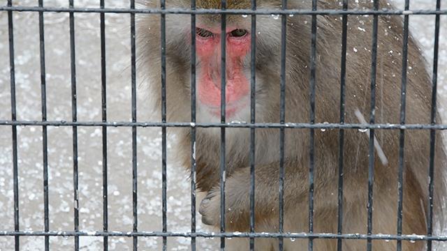 鳥取)1月中下旬並みの寒さ サルはあられパクリ