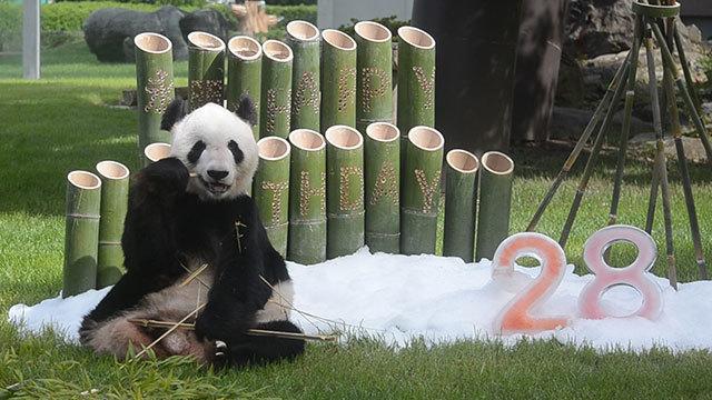人間なら80代、パンダ永明が最高齢更新中 交尾も確認